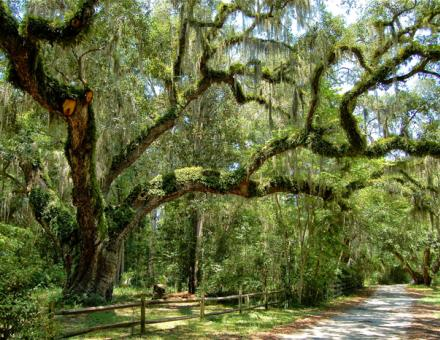 Oak Trees with spanish moss